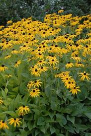 Perennials rs ss rudbeckia black eyed susan goldsturm 24 tall gold yellow daisy like flower with a brown cone long bloom time attracts butterflies blooms mid mightylinksfo